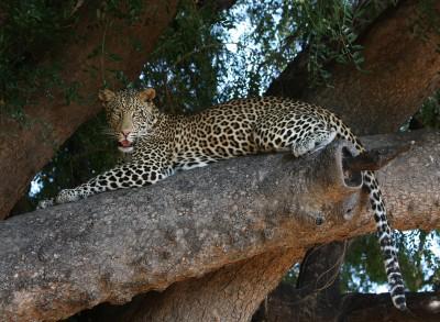 Fotosafaribild leopard 300x220